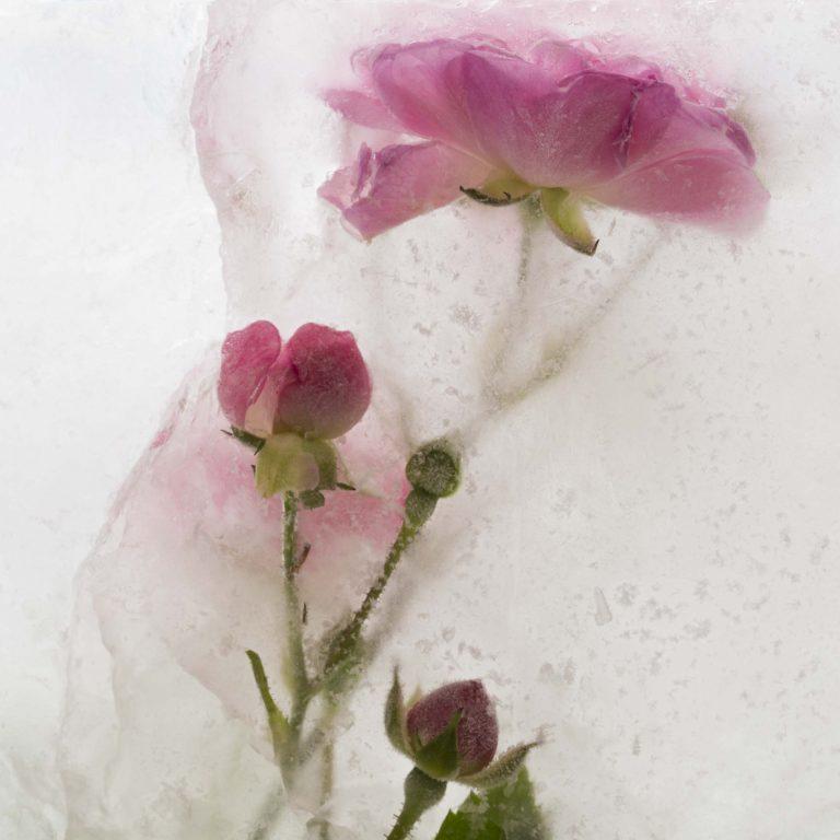 Bloemen in ijs macro