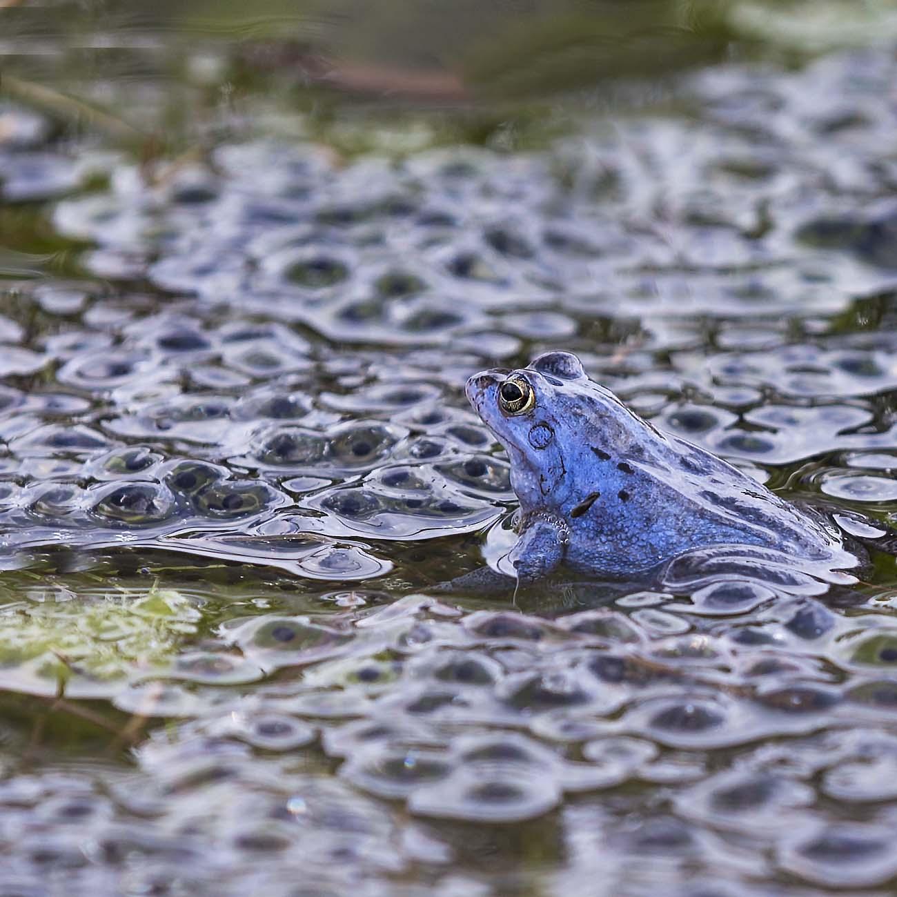 De blauwe hei kikker